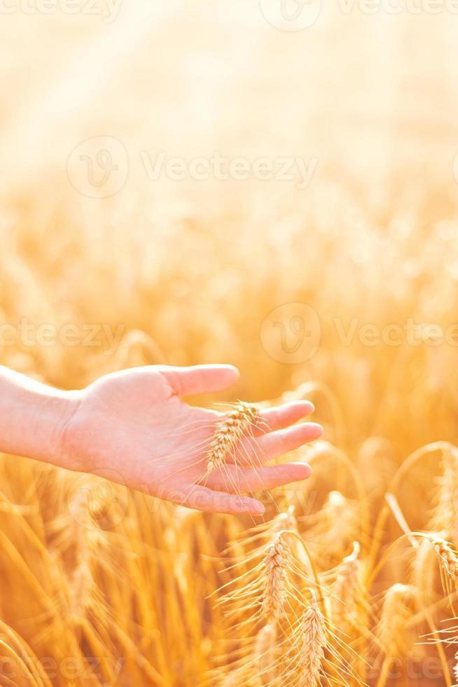 kvinnlig hand i odlat jordbruksvete. foto