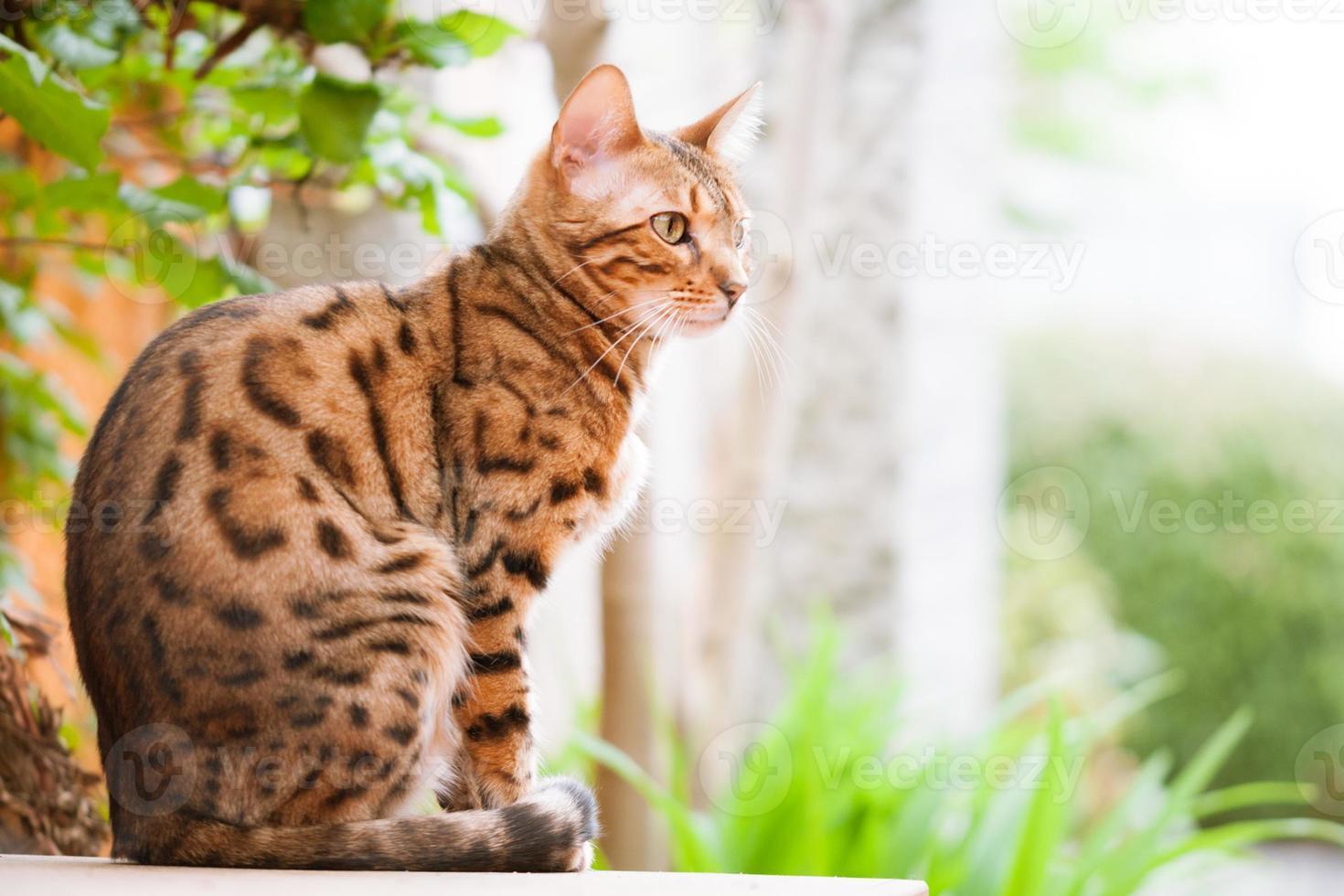 Bengalkatt som sitter på trädgårdsbordet foto