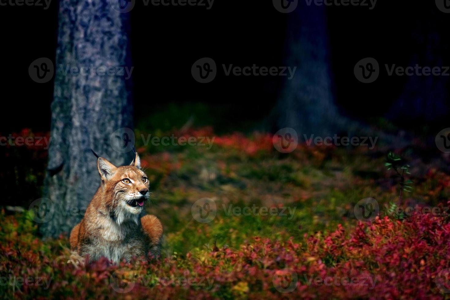 eurasisk lodjur foto