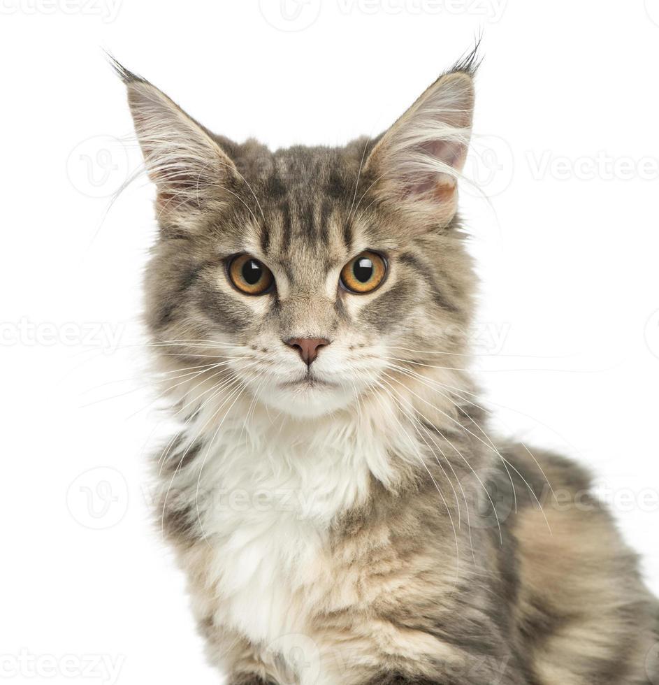 närbild av en maine coon kattunge, titta på kameran foto