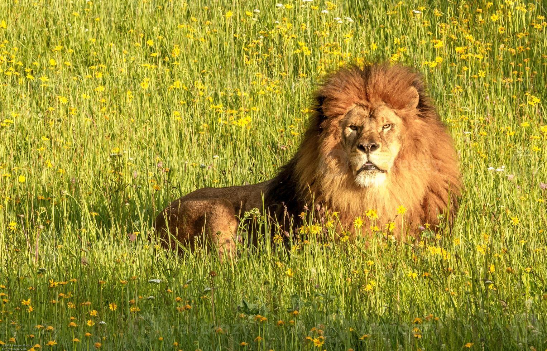 majestätiska lejon i en äng foto