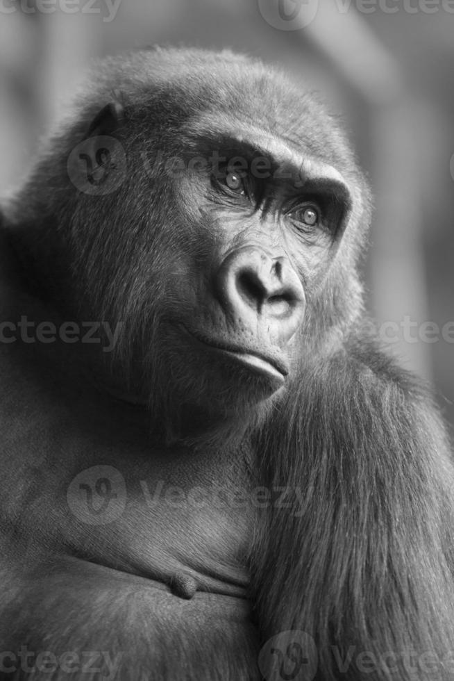 bw porträtt av afrikanska vilda apa gorilla foto