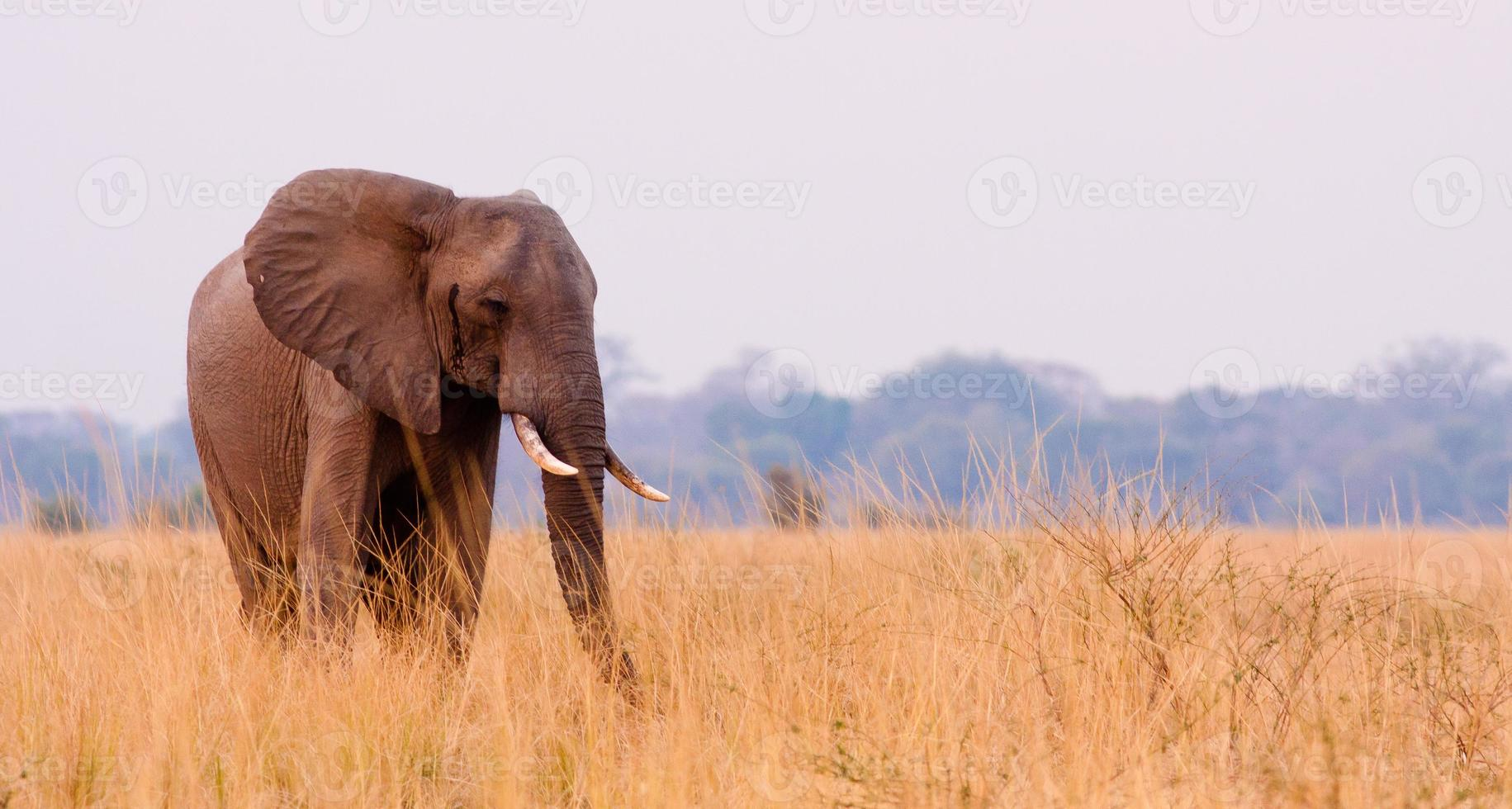elefant i gräset foto