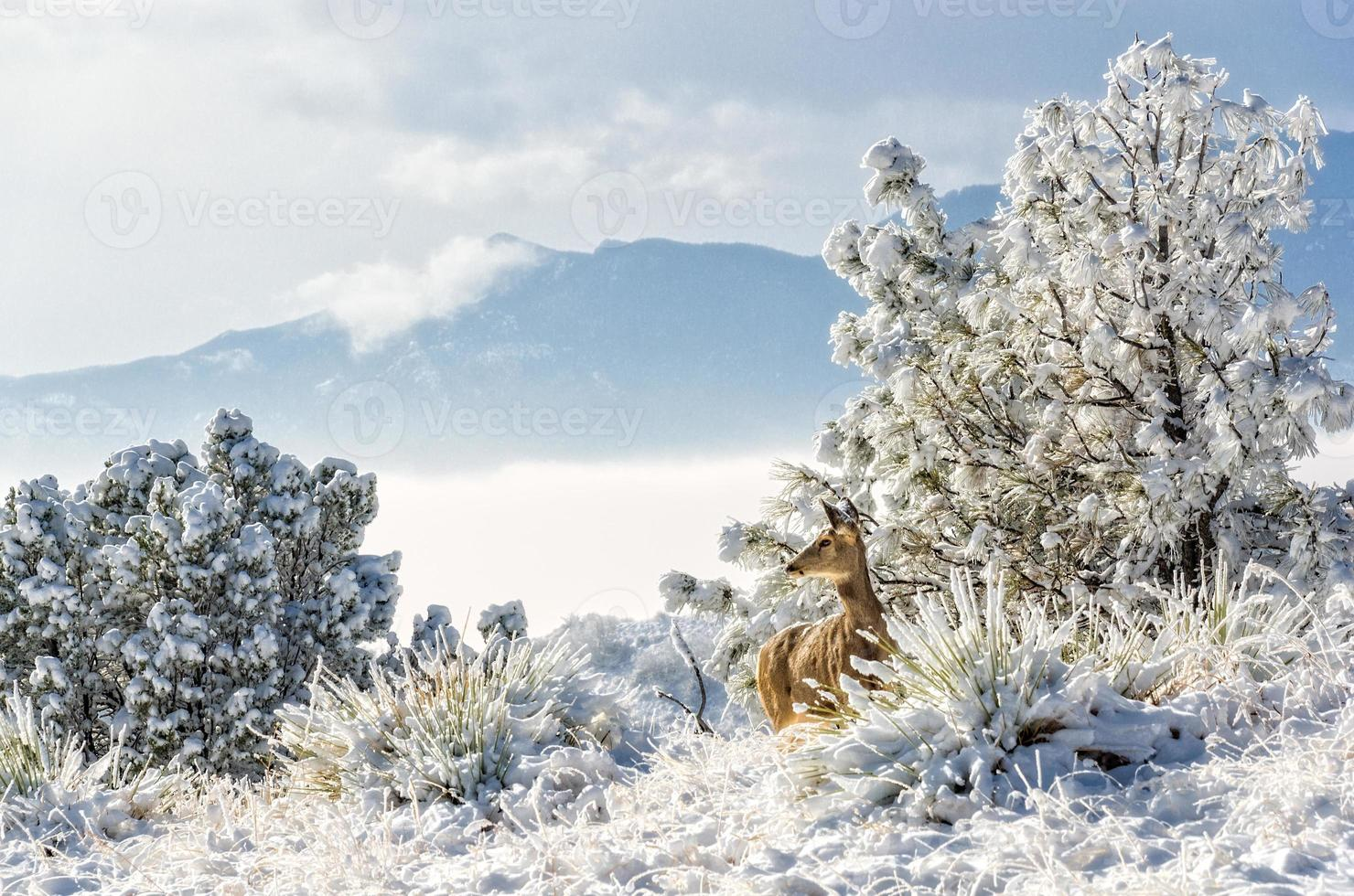 hjort under pikes topp foto