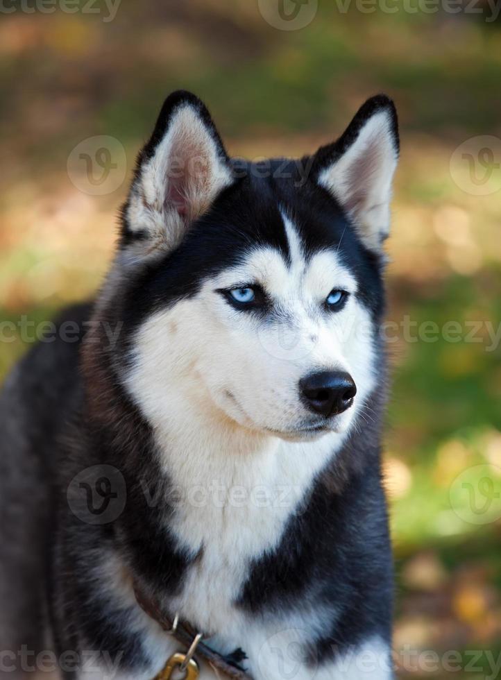 Siberian husky foto