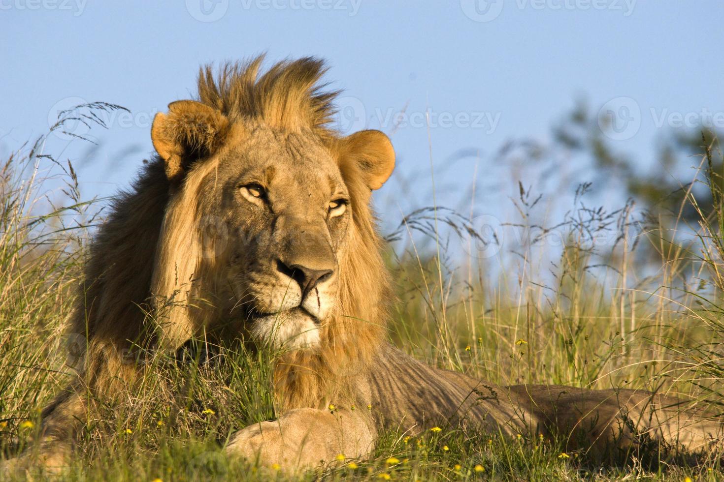 närbild av manlig lejon i naturlig livsmiljö foto