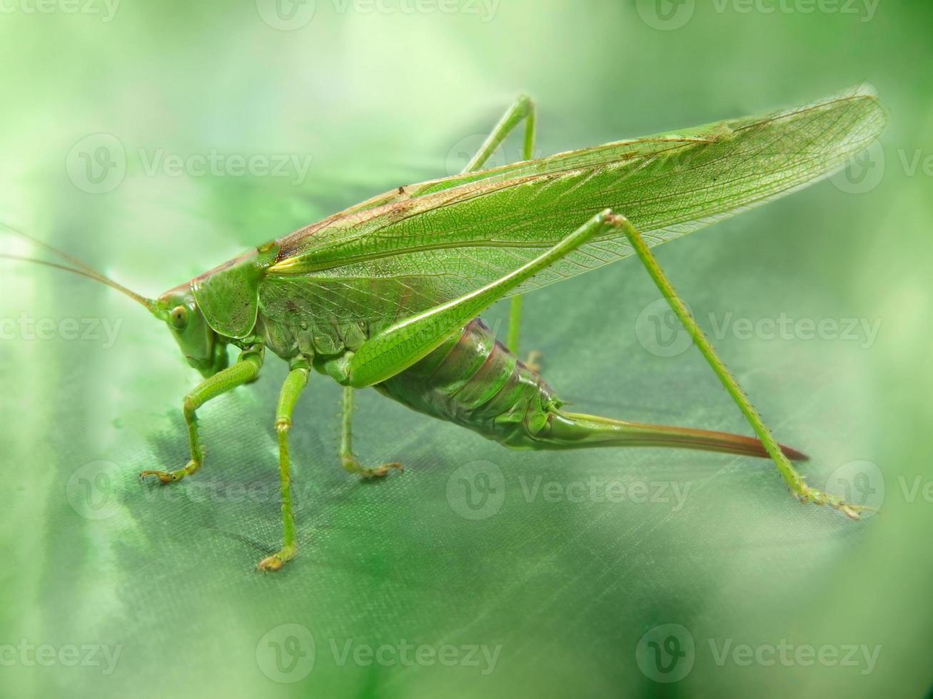 stor grön gräshoppa tagit närbild. foto