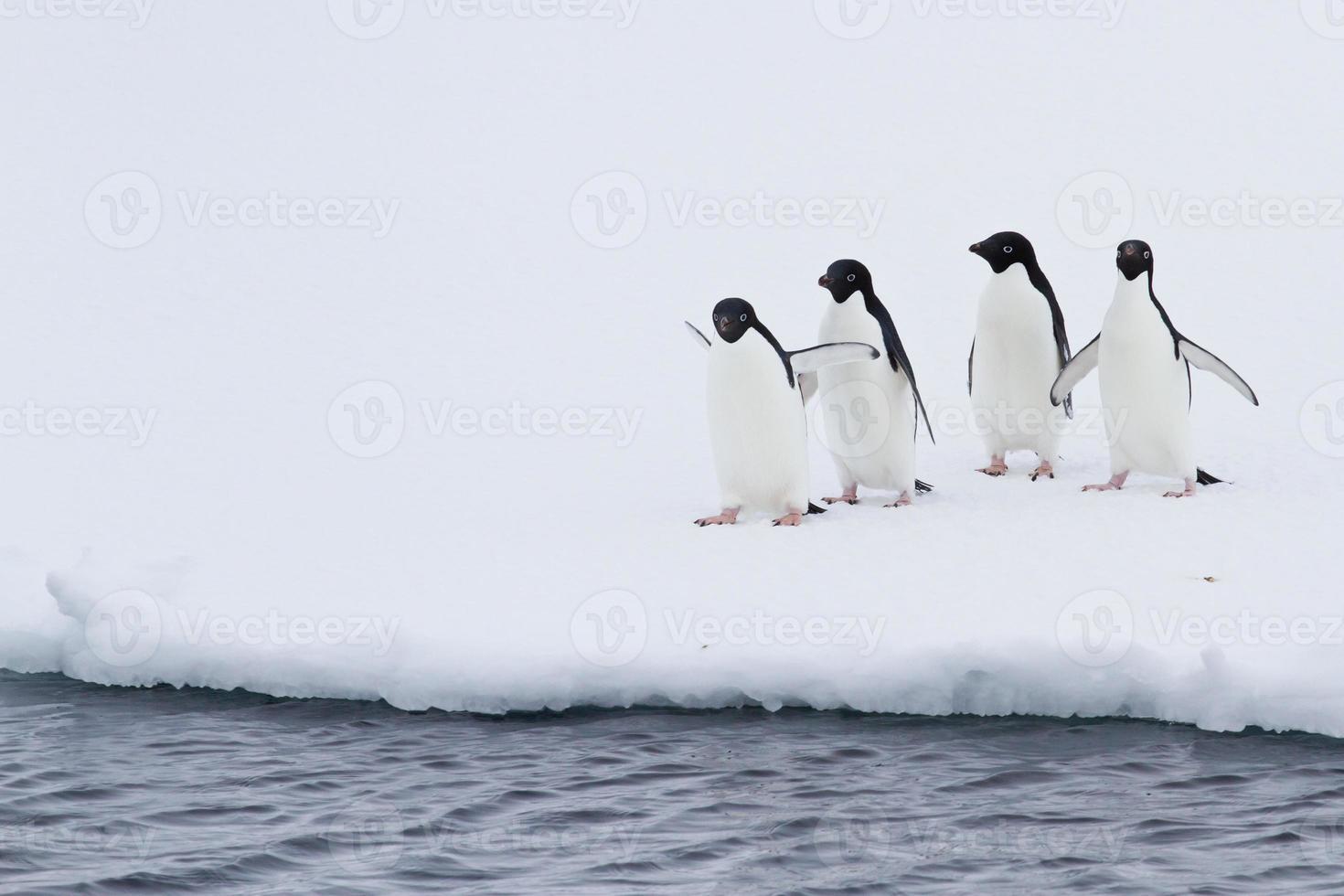 grupp adeliepingviner på isen nära öppet vatten foto