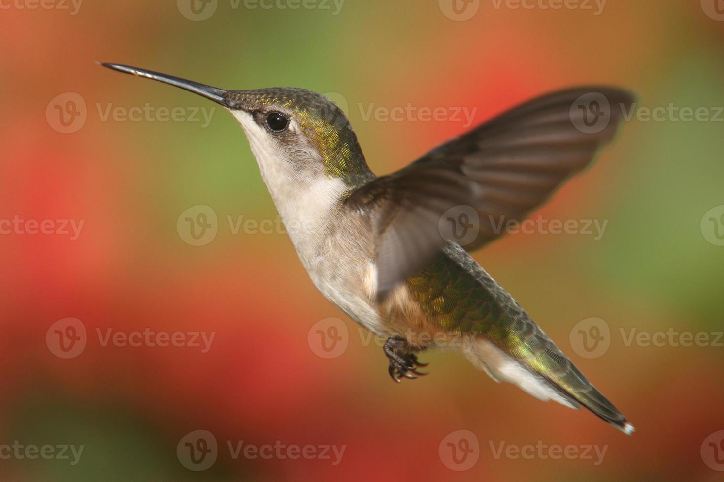 rubin-halsad kolibri under flykten foto