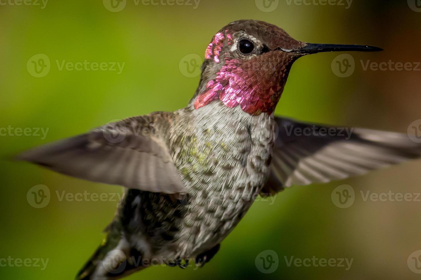 närbild av en kolibri under flykten, grön suddig bakgrund foto