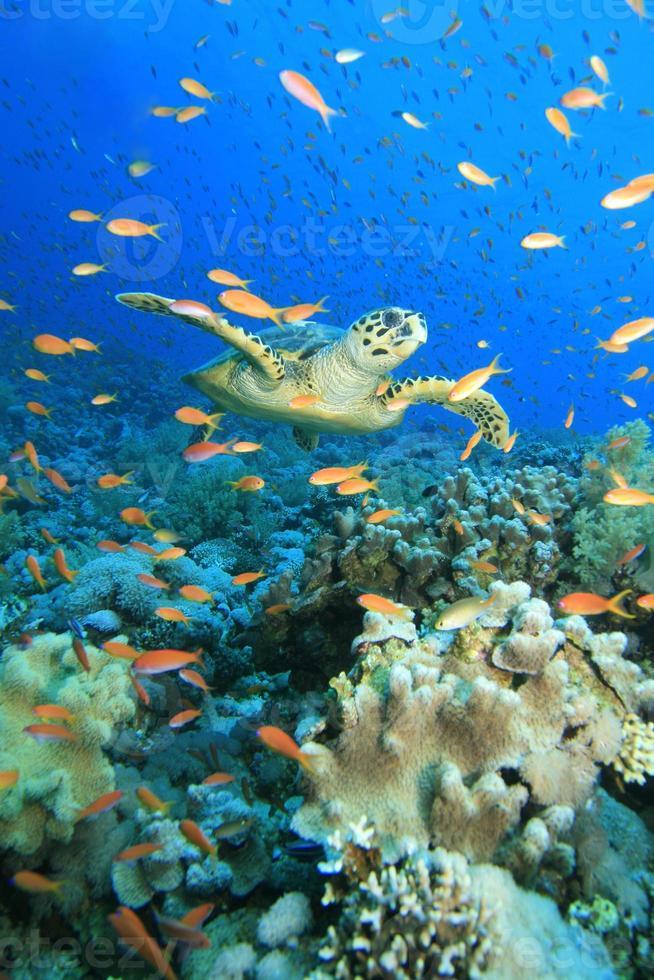 sköldpadda i moln av anthias foto