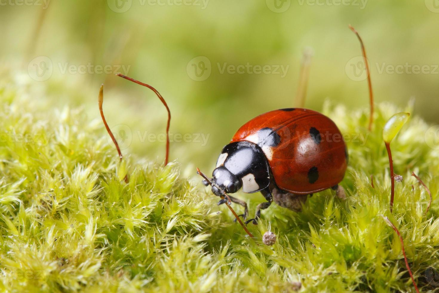 makro nyckelpiga på gräs på våren foto