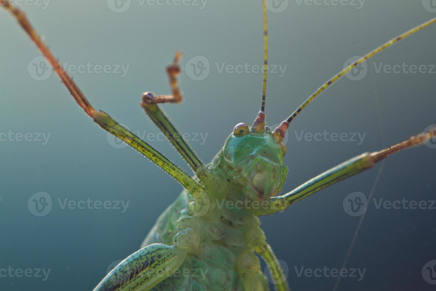 gräshoppa framför linsen foto