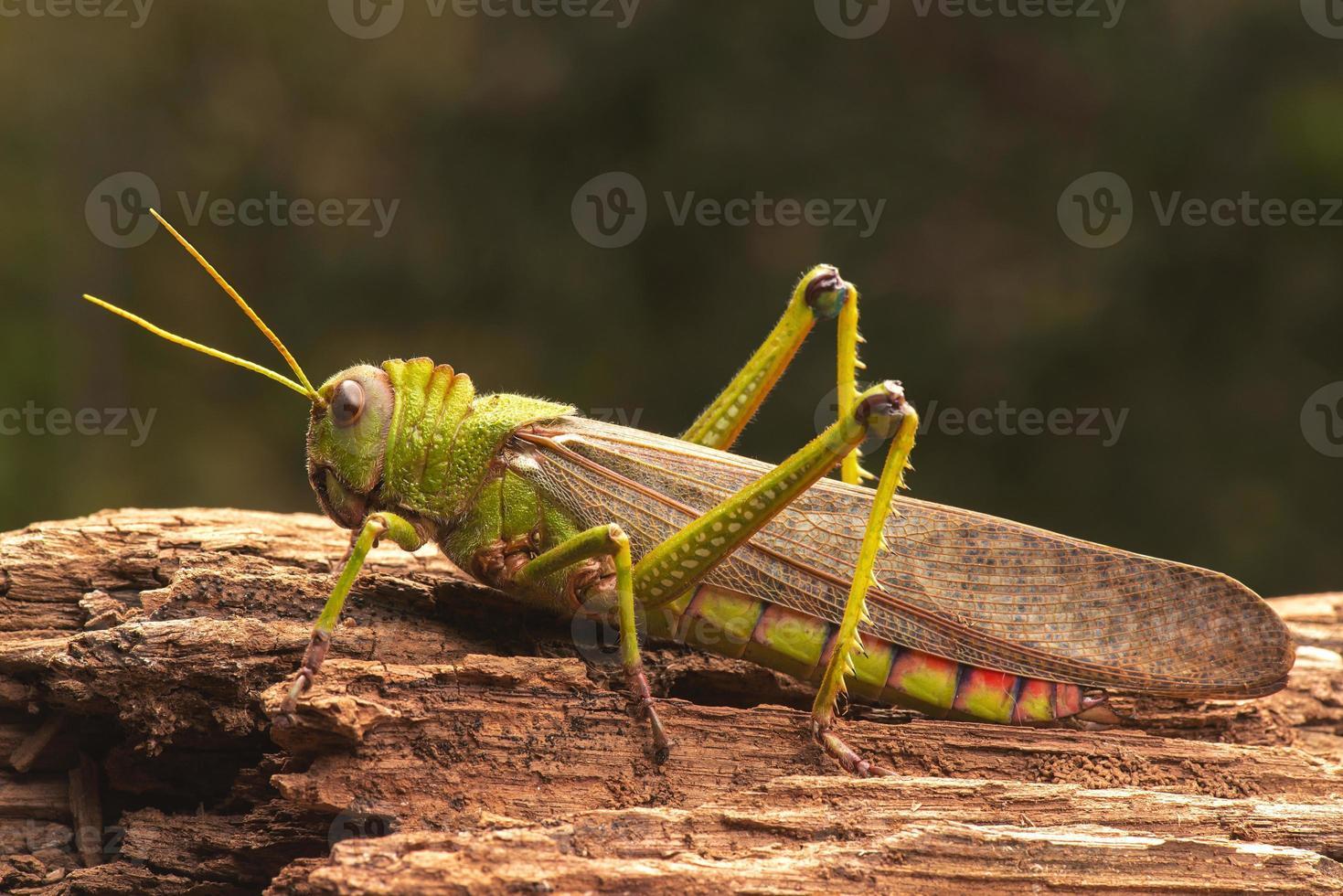 jätte gräshoppa foto