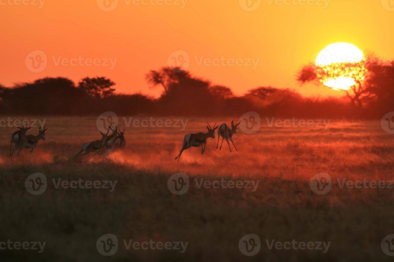 springbok solnedgångskörning - afrikanskt vilda djur foto