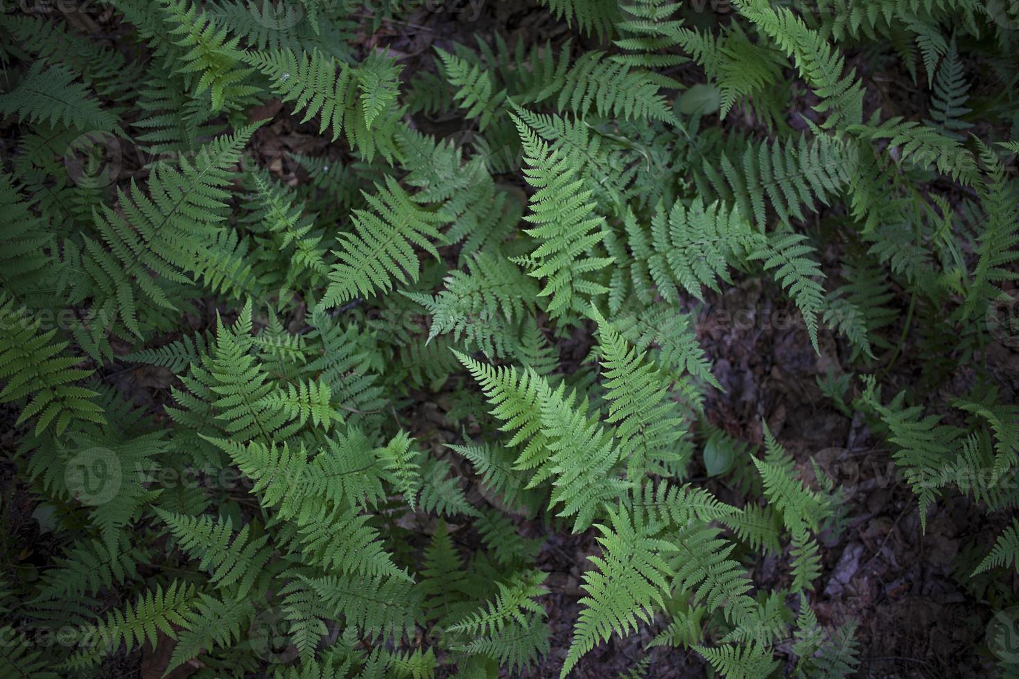 new york ferns foto