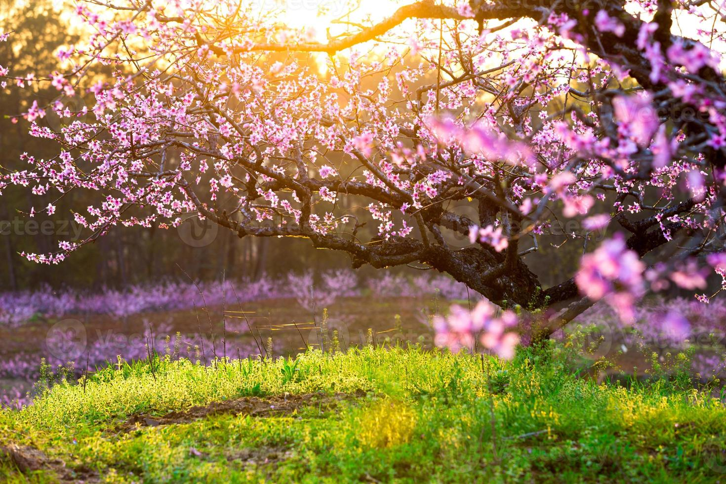 persikablomning, grönt gräs med solsken foto