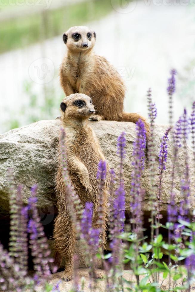 meerkat eller suricate (suricata suricatta) foto