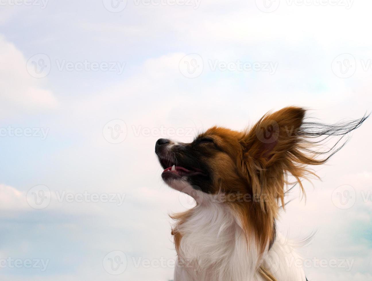 papillonhund foto