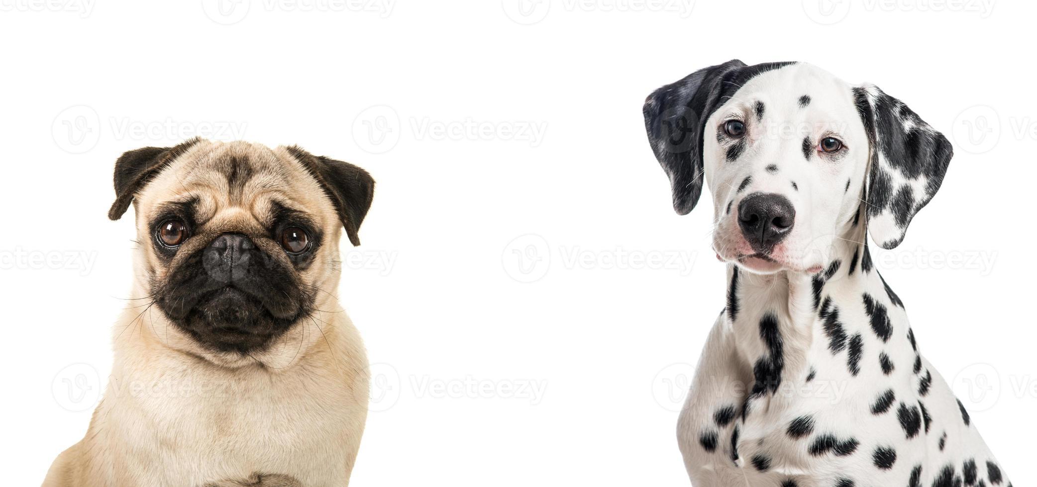 duoporträtt av dalmation och en mopshund foto