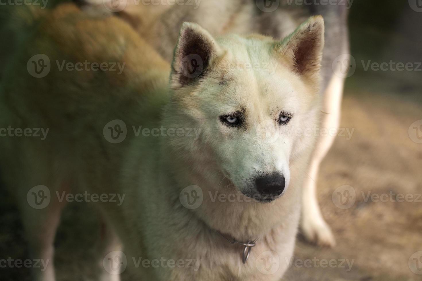 siberian husky dog foto
