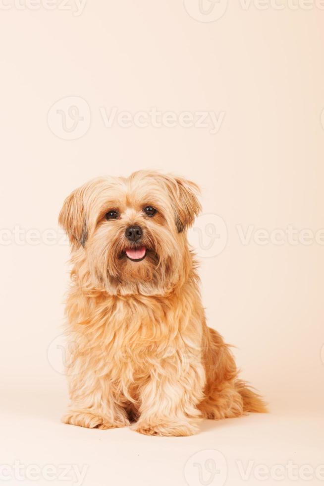 liten långhårig hund på beige bakgrund foto