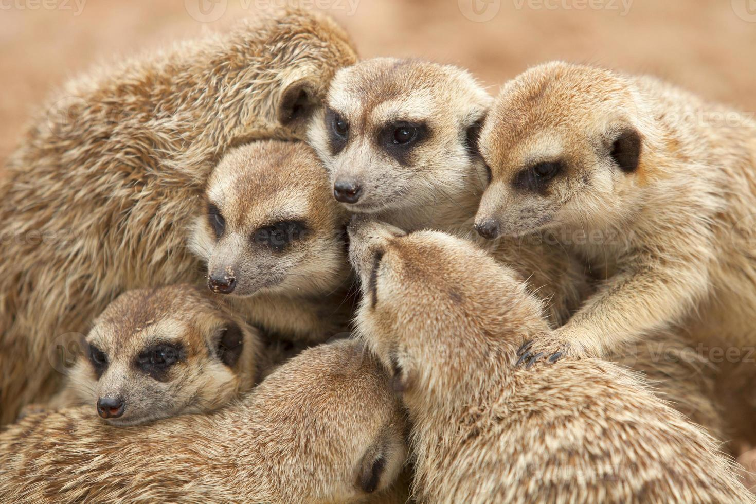 meerkat. foto