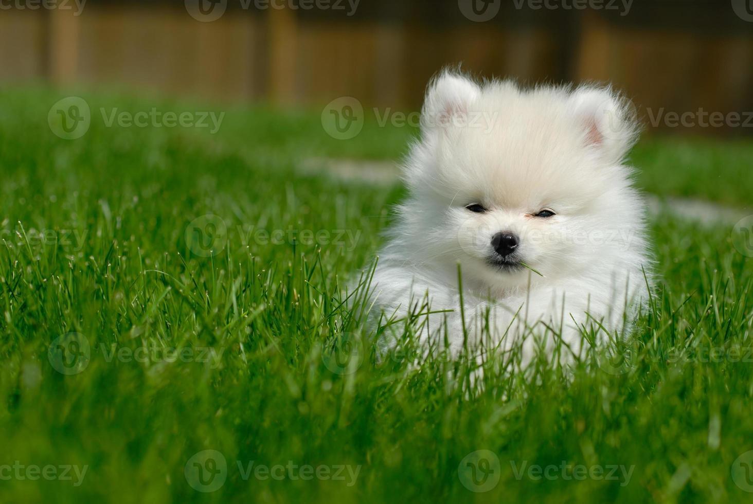 vit pomeranian valp på gräsmattan foto