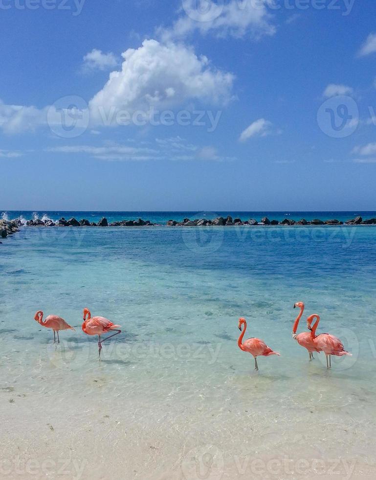 aruba flamingo foto