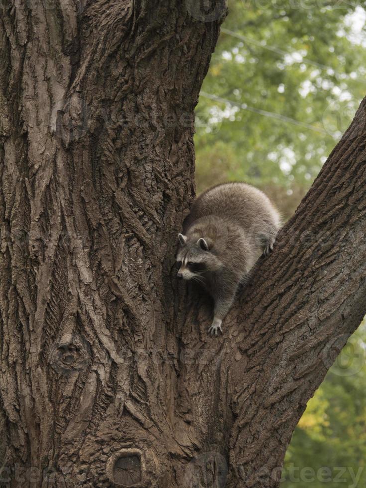 tvättbjörn kommer ner från trädet foto