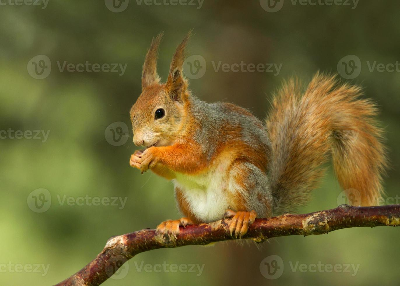 röd ekorre (sciurus vulgaris) foto