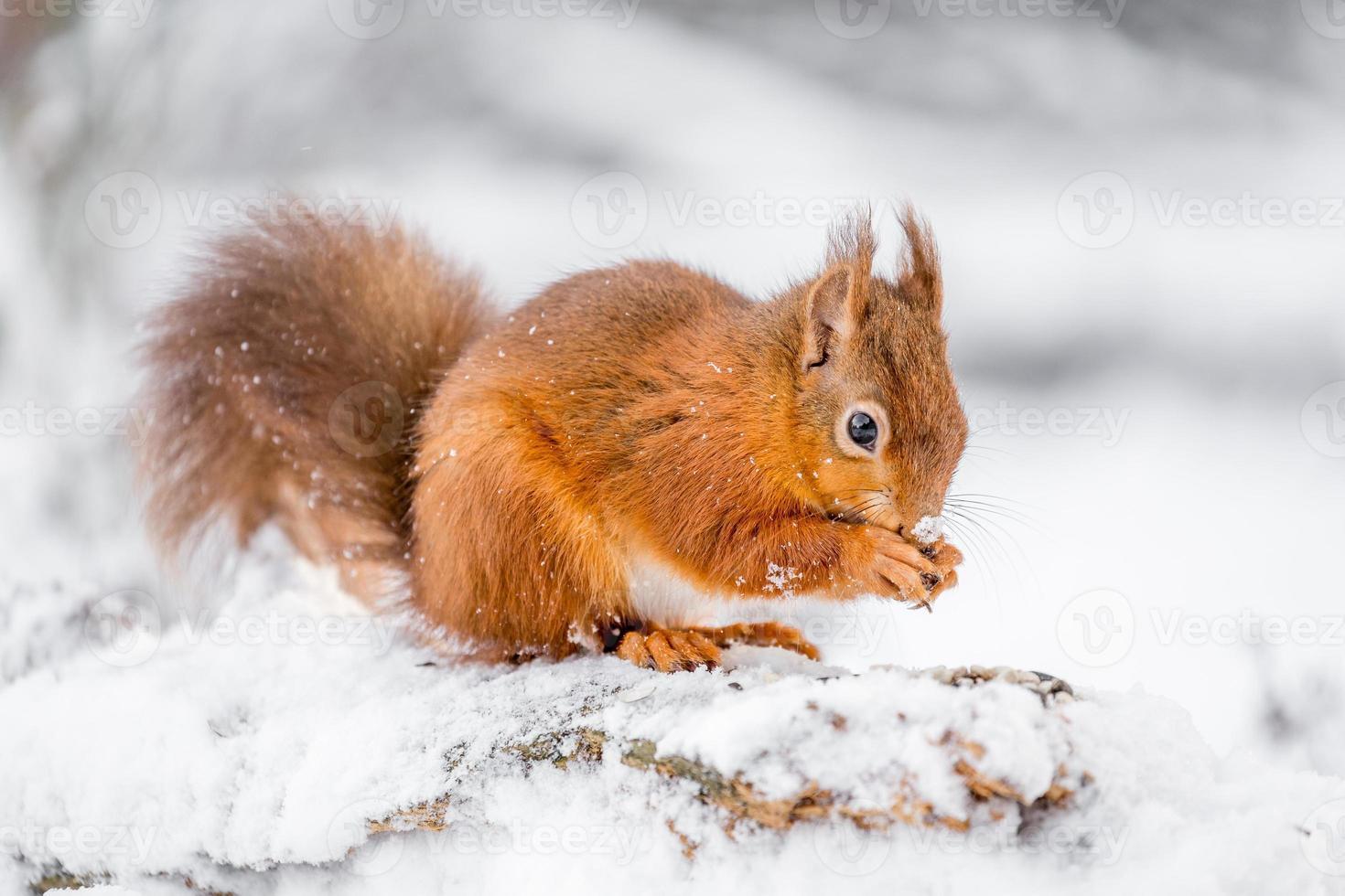 röd ekorre som söker efter mat foto