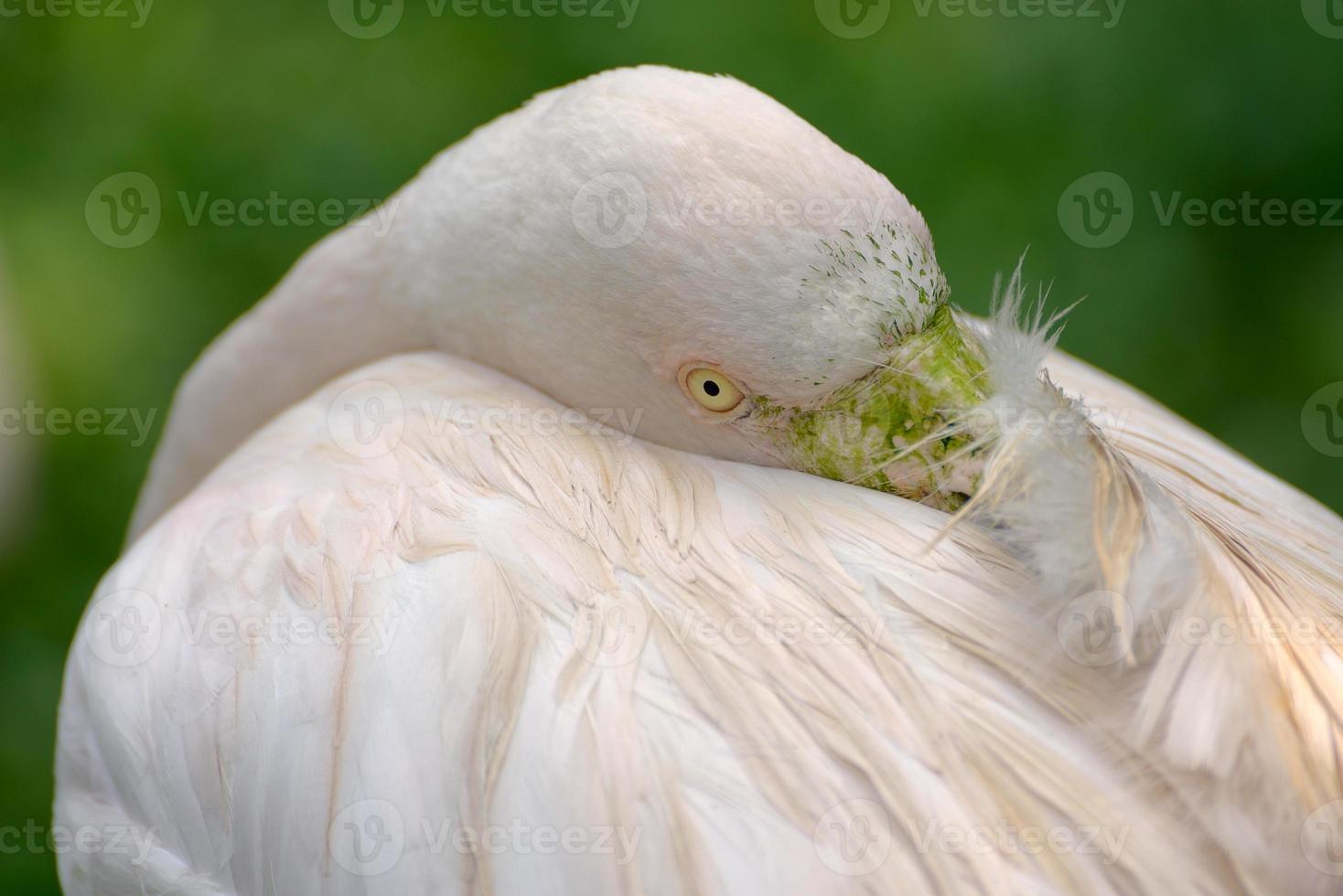 större flamingo foto