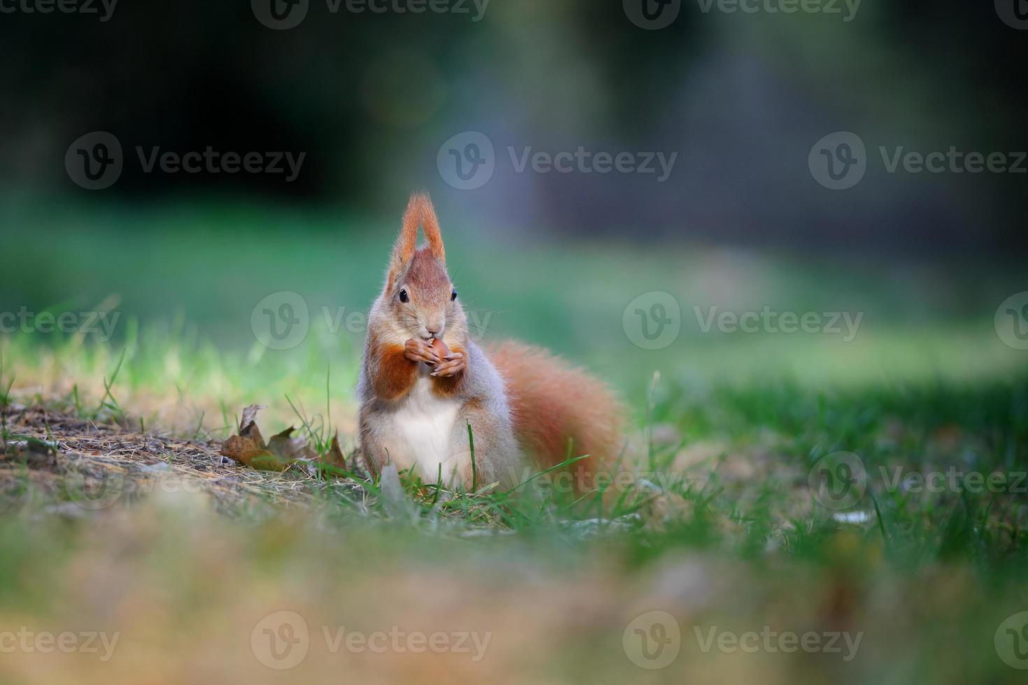 nyfiken söt röd ekorre äter hasselnöt i höstskogsmark foto