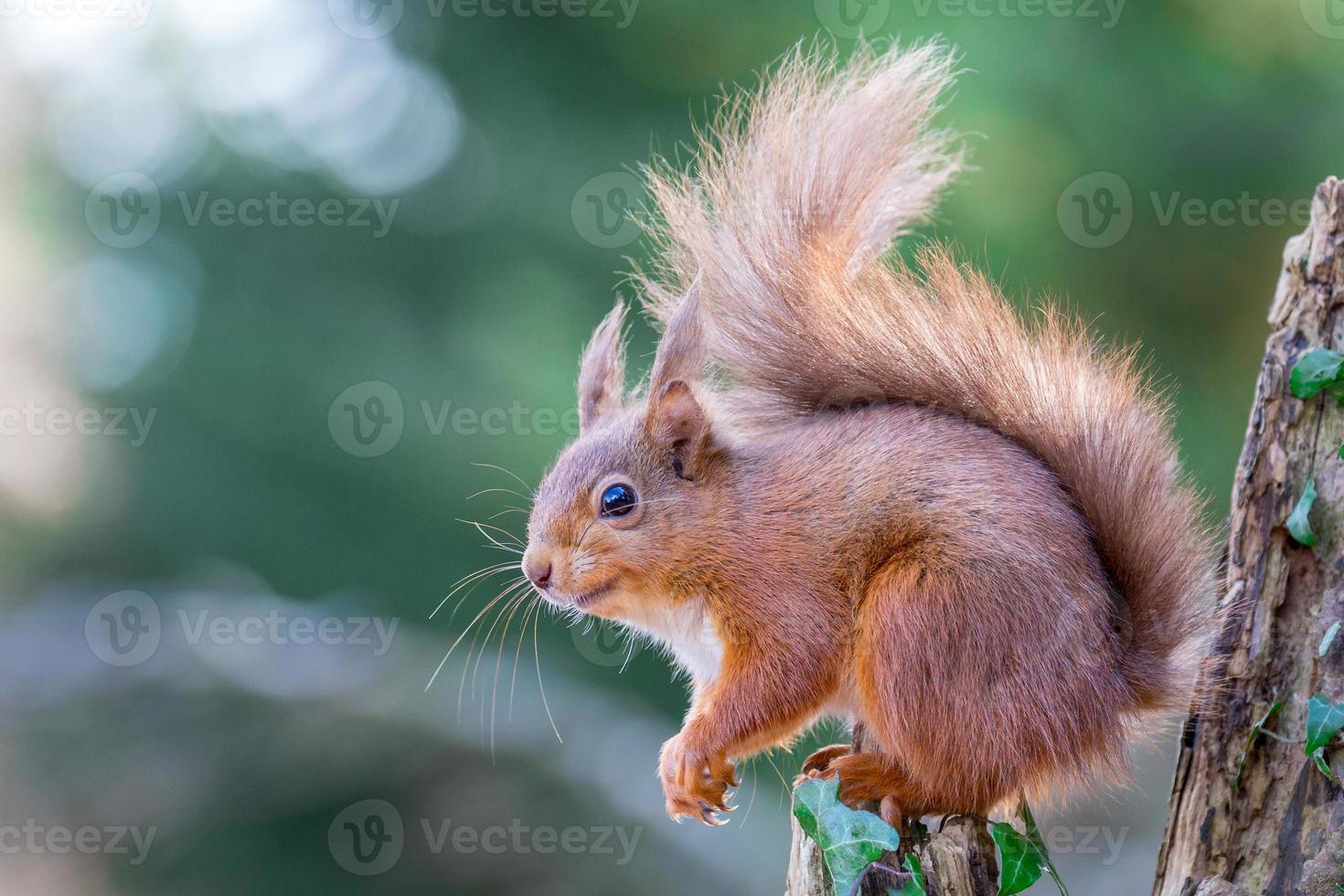 röd ekorre i engelsk skog foto