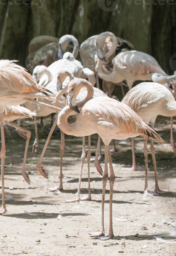 flamingo fågel foto