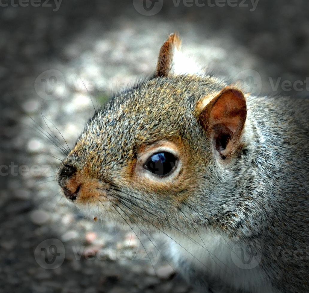 grå ekorre foto