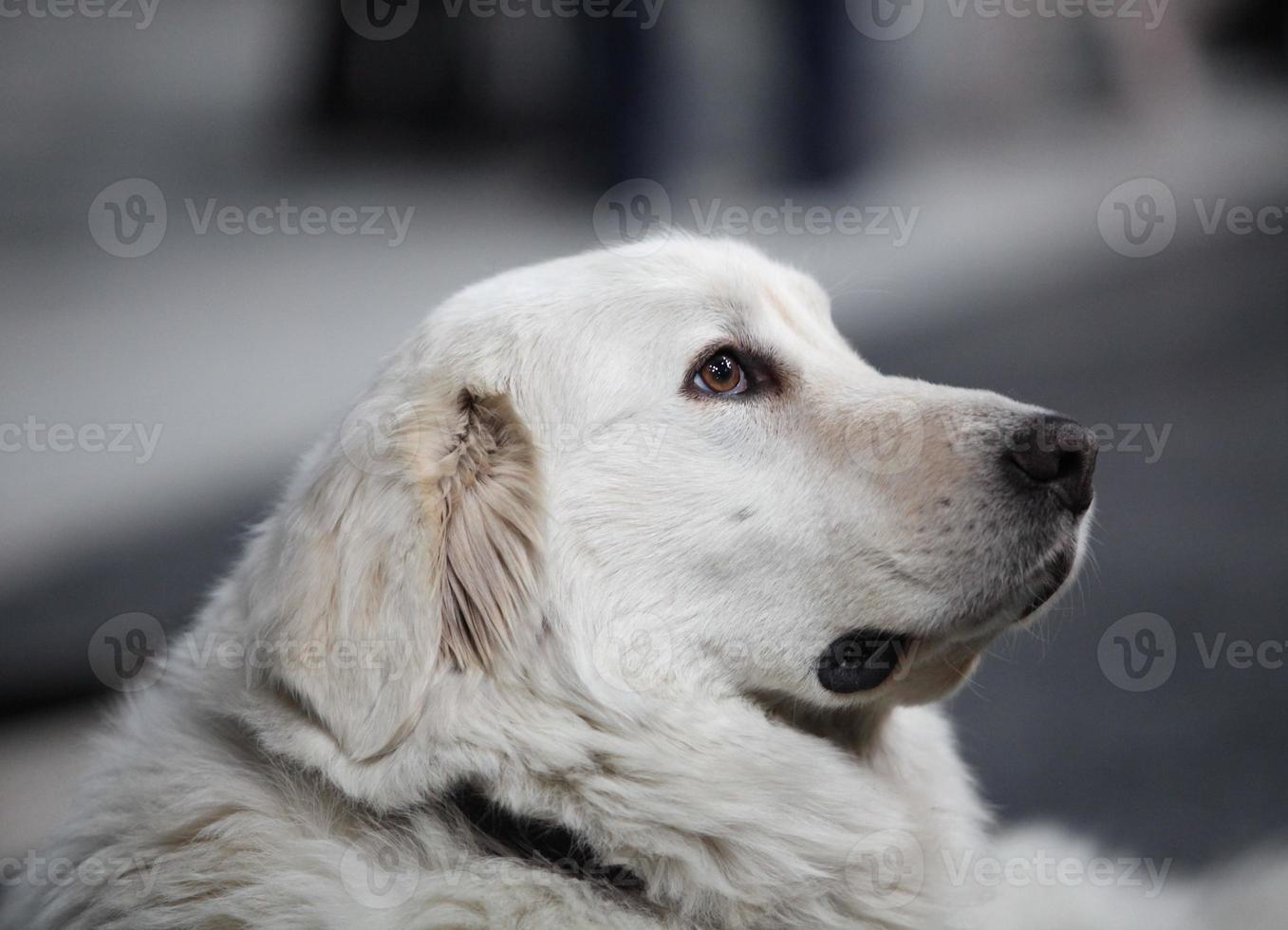 huvudsidan av den stora vita hunden foto