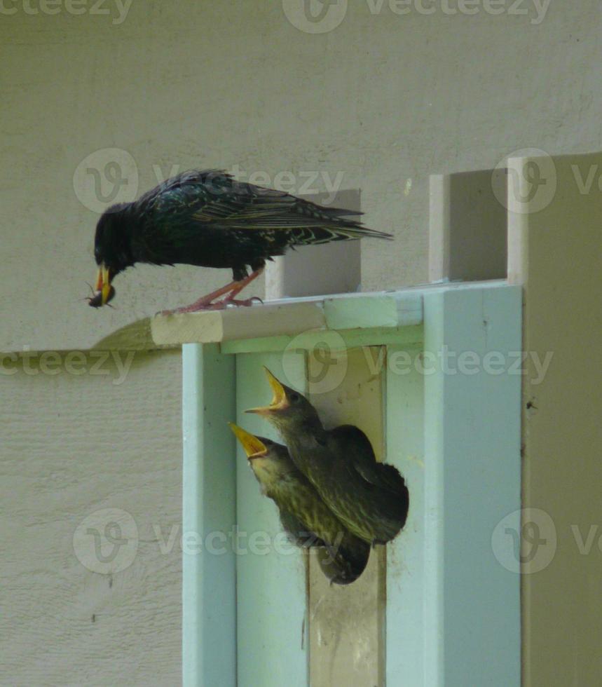 utfodring baby fåglar foto