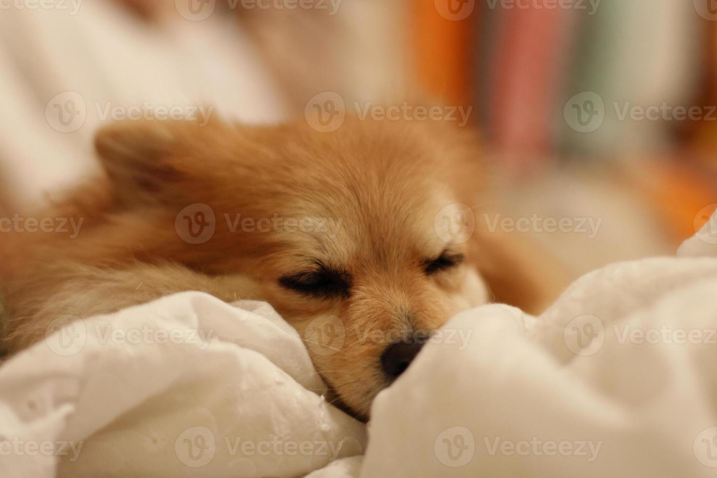 liten hund som sover foto