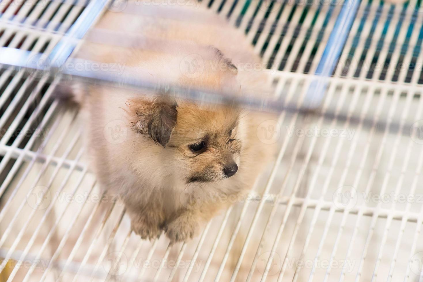 pomeranian hund väntar på att ägaren kommer hem foto