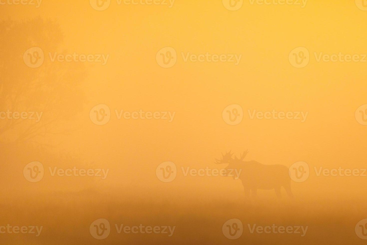 tjur älg silhuett på morgondimman foto