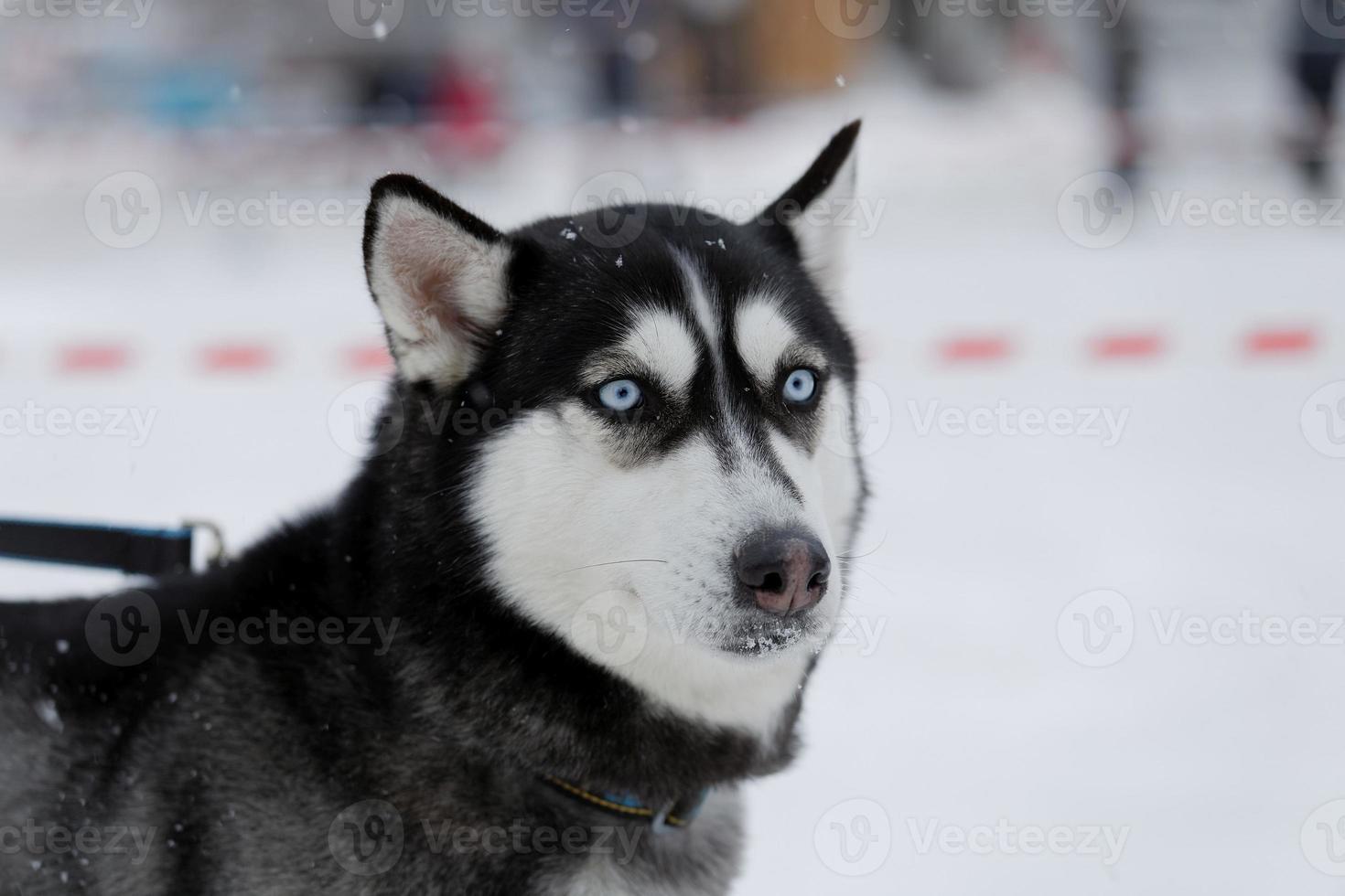 hund med blå ögon foto