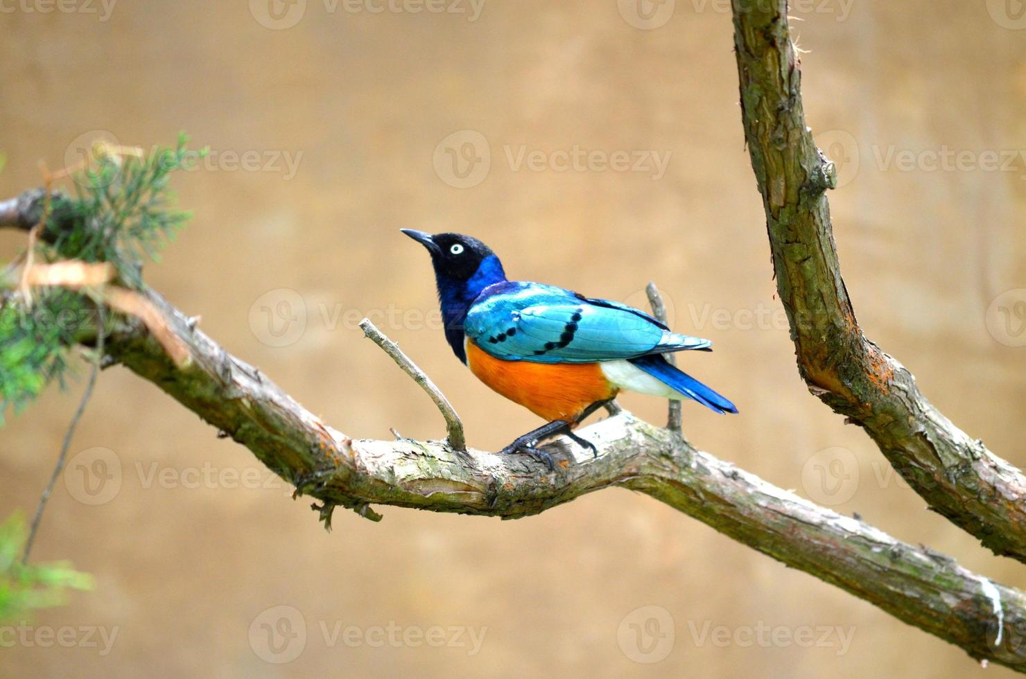 superb starling foto