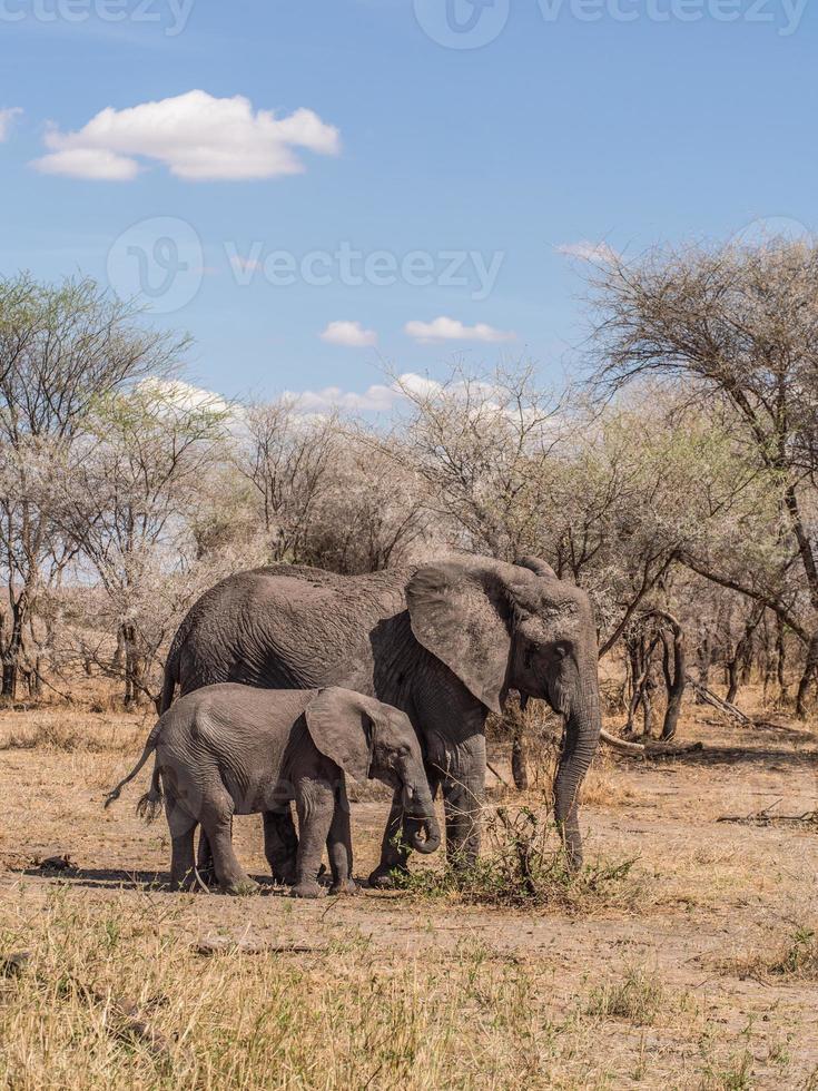 afrikanska elefanter i tarangire nationalpark, tanzania foto