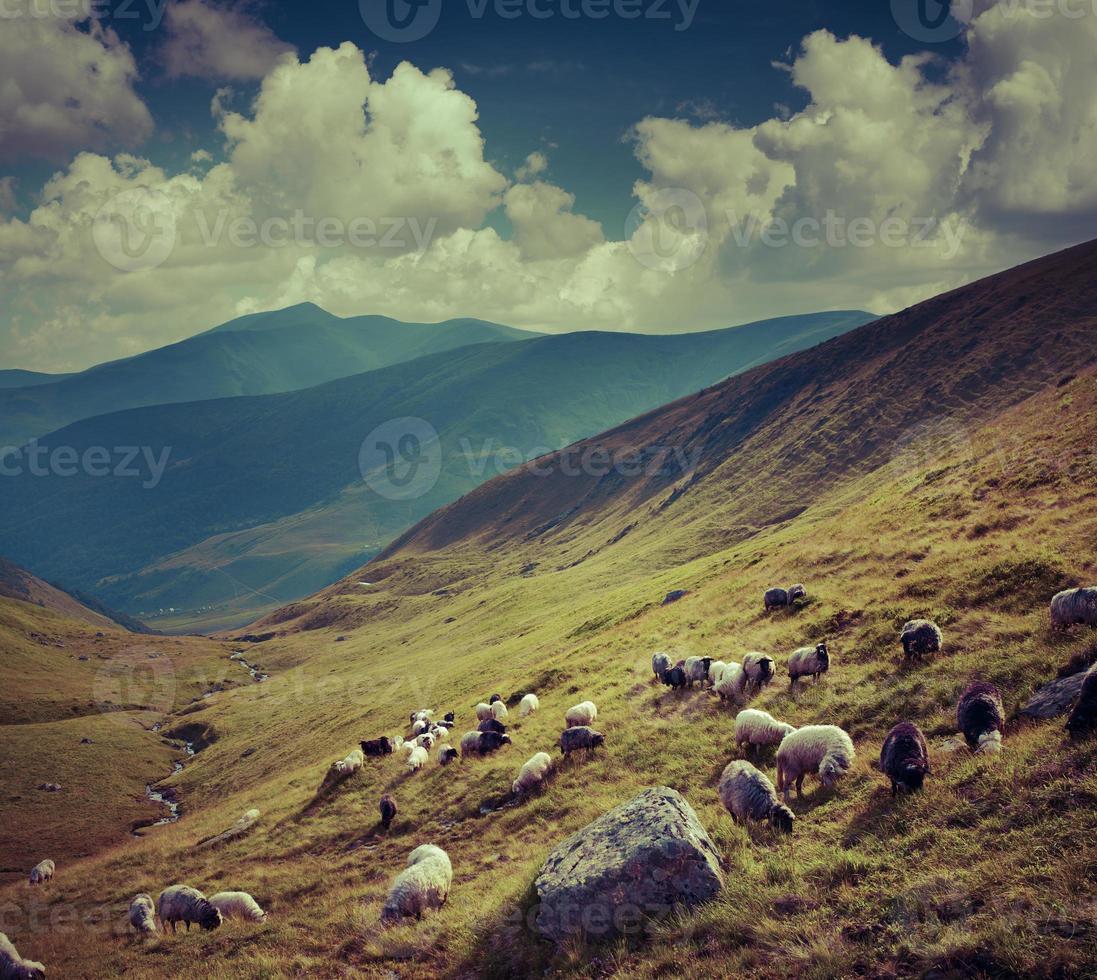 fårflock i bergen. foto
