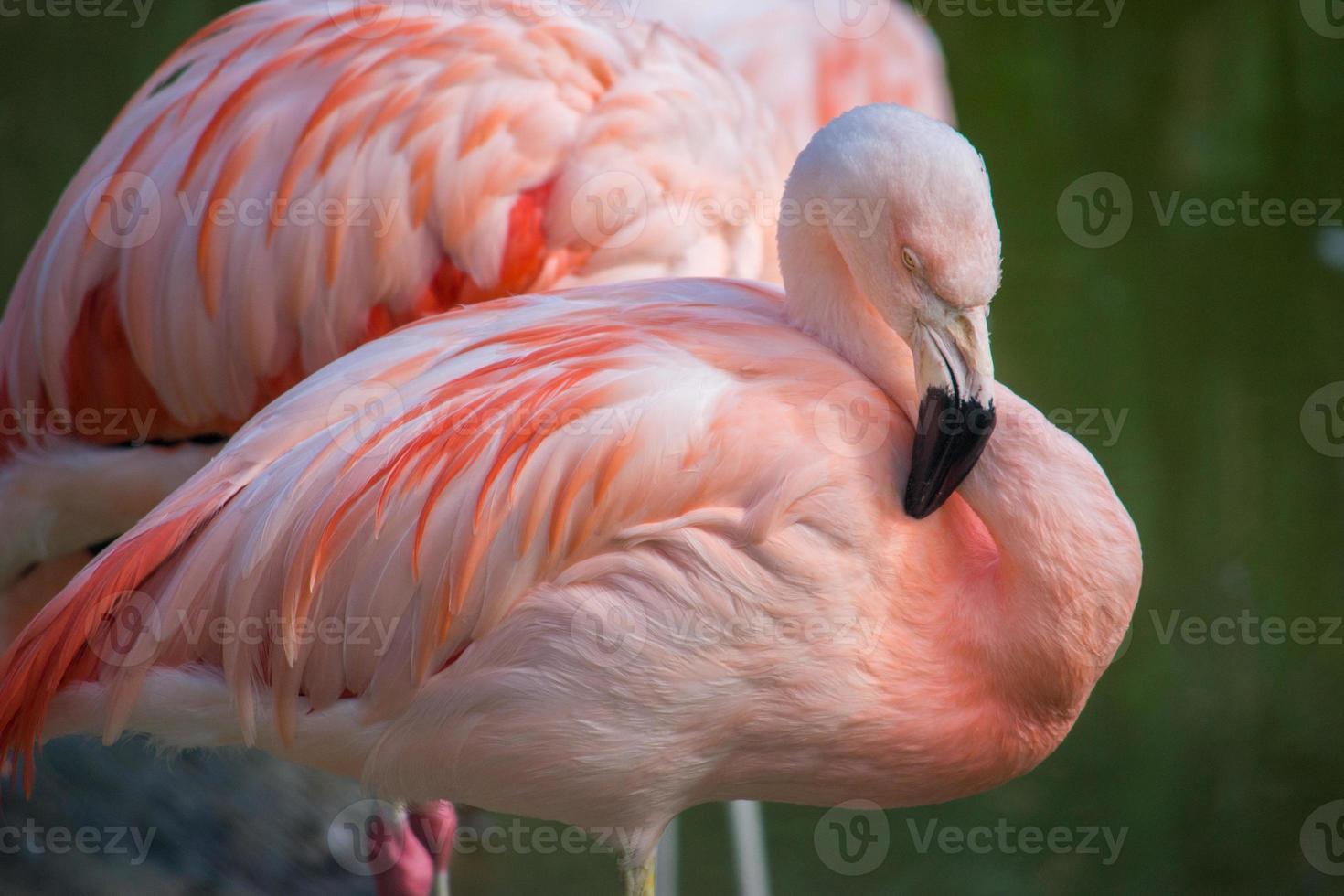 flamingo i ett damm i en naturlig miljö foto