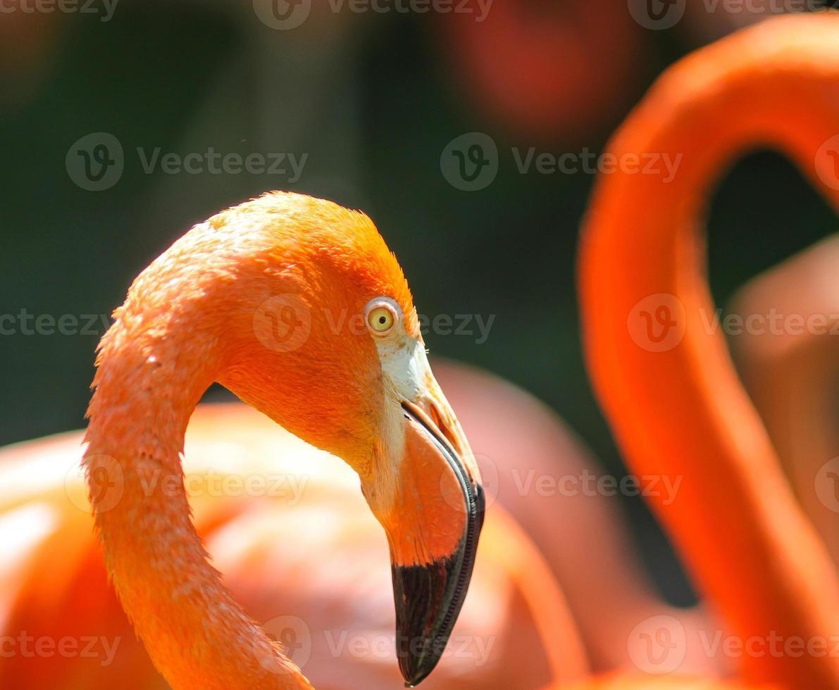 röda flamingos foto