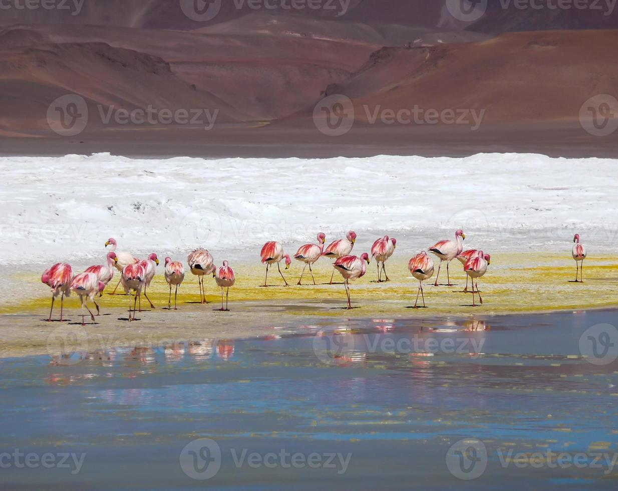 atacama-flamingos i gul jord foto