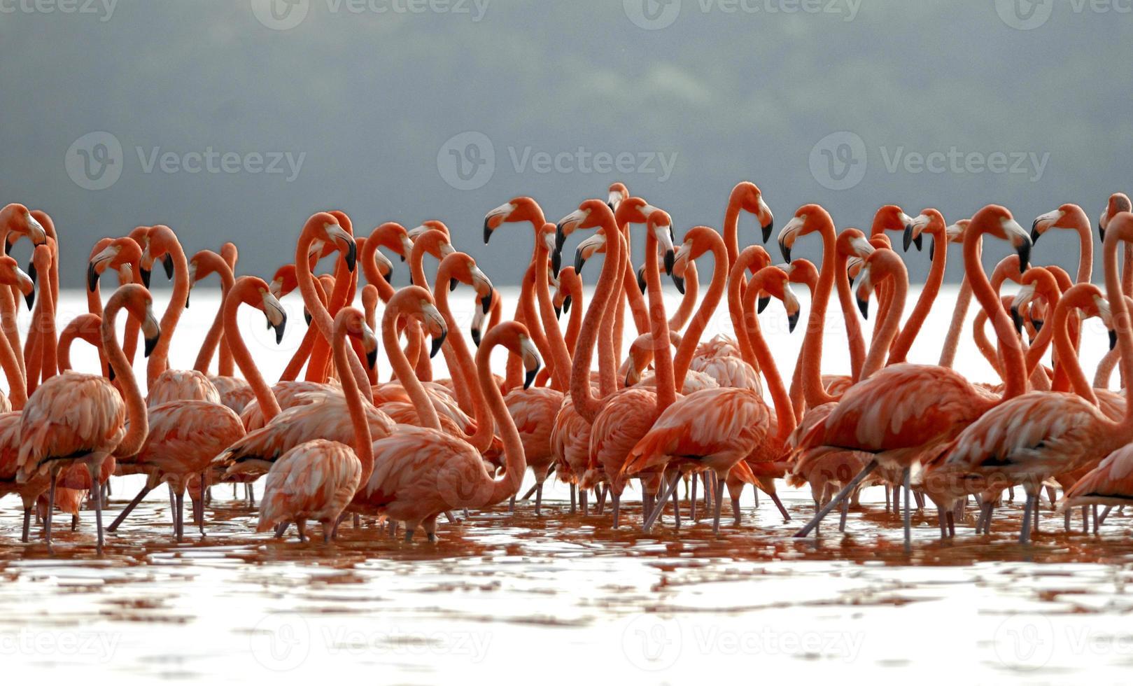 flock med större flamingos foto